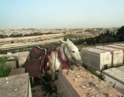 Donkey on the Mount of Olives in Jerusalem. Jews Cemetery in Jerusalem.